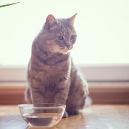 Q. 고양이가 그릇에 담긴 물을 잘 마시지 않는 이유?