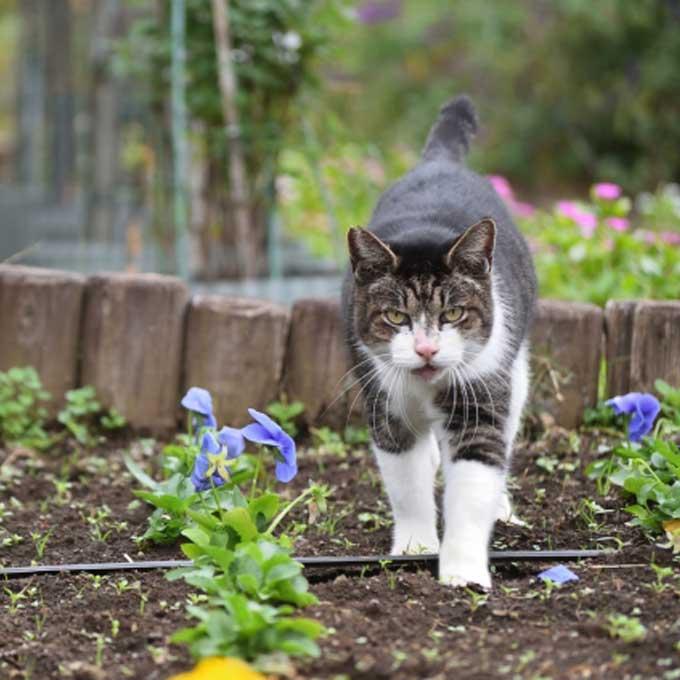 고양이를 외출냥으로 키웠을 때 생기는 비극 5