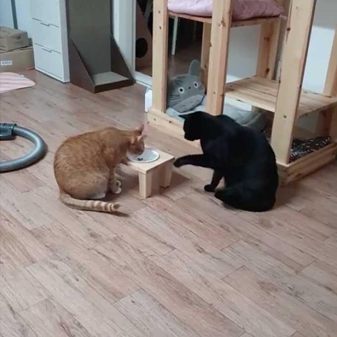 지능적인 고양이가 동료 고양이 밥 빼앗아 먹는 법