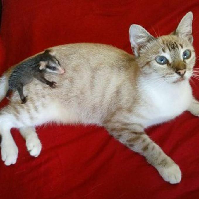 산책 나갔다가 등에 아기 주머니쥐 업고 온 고양이