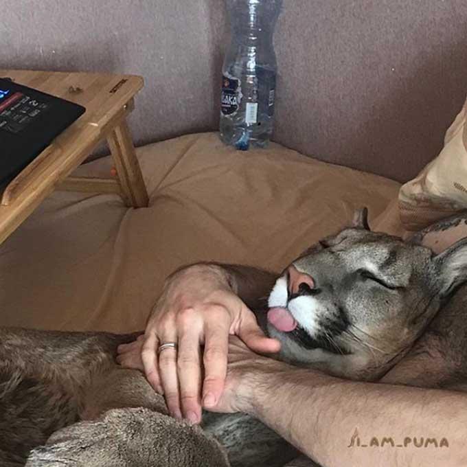 퓨마를 집에서 사랑으로 키웠더니