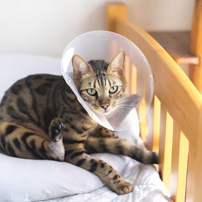 고양이, 엘리자베스 칼라(넥카라) 스트레스를 줄여주는 4가지 방법
