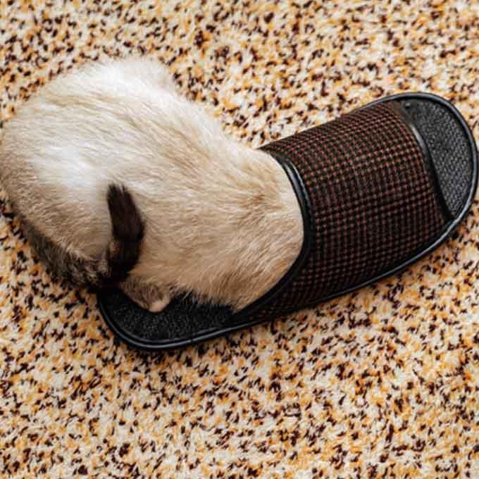 고양이가 집사의 슬리퍼를 좋아하는 이유 5