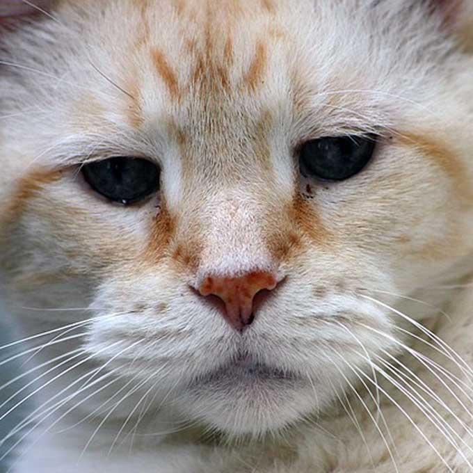 일본서 고양이 수명 30세까지 늘리는 신장병 특효약 개발 중