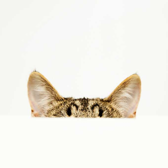 """""""TNR 할 때 잘라도 진짜 안아픔?"""", 대부분의 사람들이 모르는 고양이 귀에 관한 사실 8"""