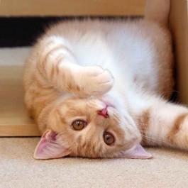 Q. 고양이가 배를 보이며 바닥에서 뒹굴뒹굴하고 싶어 지는 상황 5