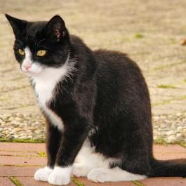 Q. 배가 검고 등이 하얀 고양이는 없다, 고양이 털빨 법칙